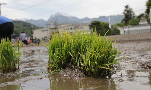 七賢・ふれあい自然塾「田植え」稲